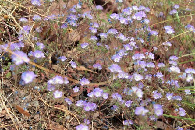 blue and purple southern Arizona wildflowers