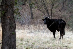 a free range cow in southern Arizona near the U.S.-Mexico border
